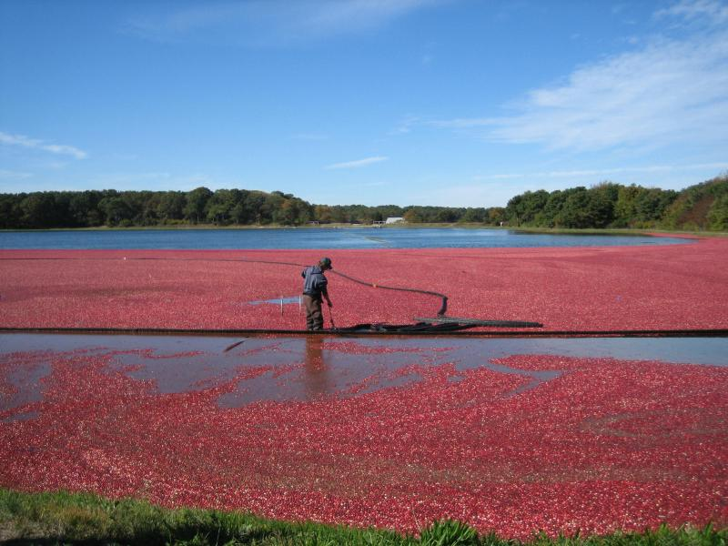 harwich cranberries