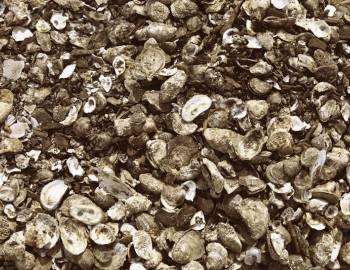 Cape Cod Oyster Festival